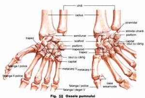 Oasele mainii | Anatomie si fiziologie