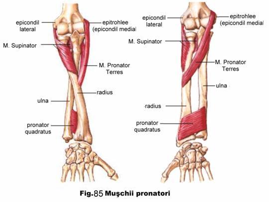 biceps mana durere mana