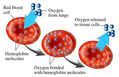 Anemii prin defecte ale membranei eritrocitare.