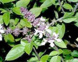 Busuiocul (ocimum basilicum)