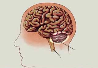 Cerebelul - structura interna a cerebelului