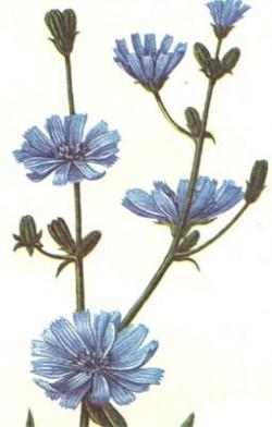 Cicoarea (centaurea cyanus)