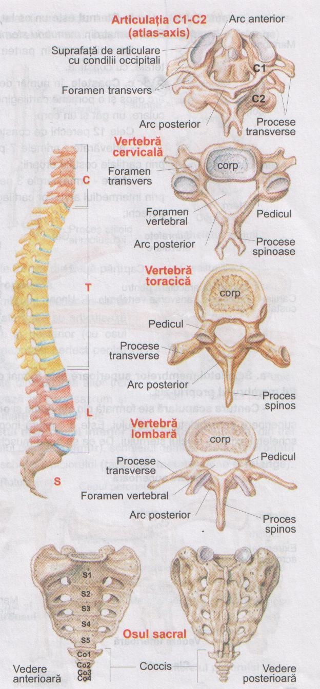 coloana vertebrala stramba