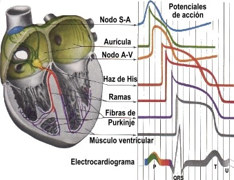imagine cu electrocardiograma
