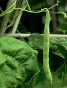 Fasolea (phaseolus vulgaris)