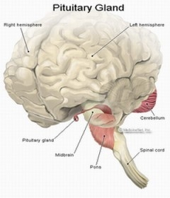 Sistemul endocrin - hipofiza (glanda pituitara), epifiza (glanda pineala) , glanda tiroida, glandele paratiroide, suprarenalele, gonadele