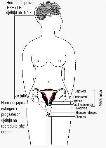 Actiunea altor hormoni asupra osului