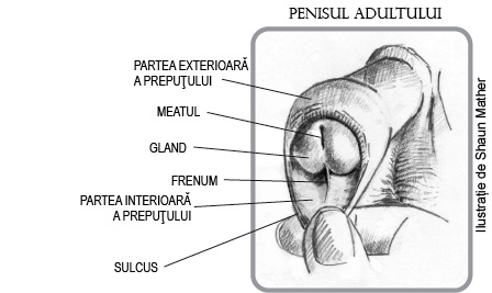 Penisul - preputul