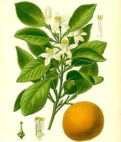 poza despre portocal