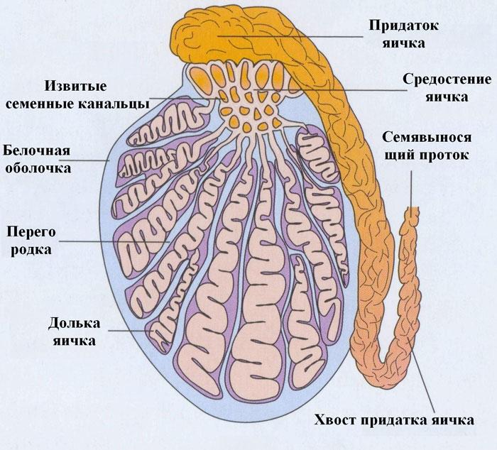 Cancerul la testicul